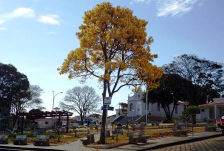 Ipê solitário embeleza a Praça São Benedito, em Alpinópolis.